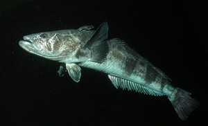 Adult toothfish can live up to fifty years and weigh over 150 kg © Rob Robbins.