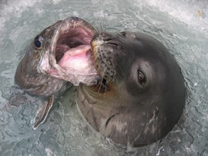 Antarctic toothfish are an important food item for Weddell seals © Jessica Meir.